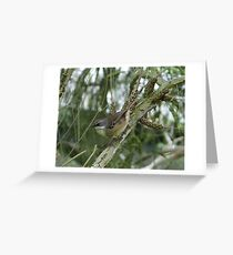 White-browed Scrubwren defending its nest Greeting Card