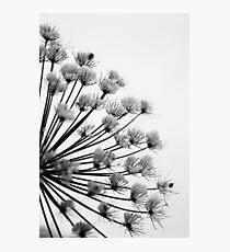 Winter Hogweed Photographic Print
