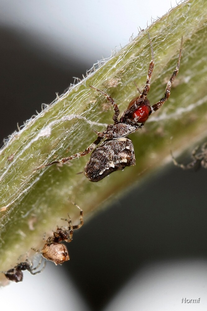 Tiny  Uloborid species - Female with prey by Normf