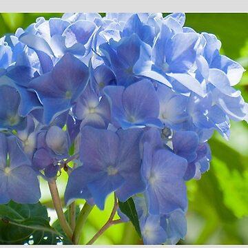 Bright Blue Hydrangea Flower by DaveM7054