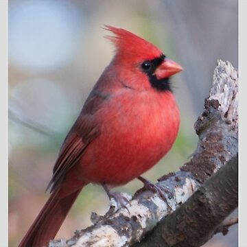 Colorful Red Cardinal on Branch by DaveM7054