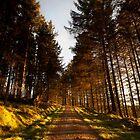sunlit road, bruntyairds woods by codaimages