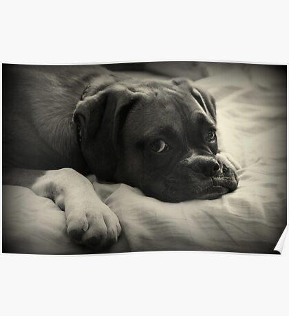 Zeit zum Ausruhen - Boxer Dog Series Poster