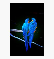 Blue Parrots Photographic Print
