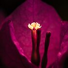 Bougainvillea with insomnia wondering if a kiss is really just a kiss and a sigh is really just a sigh. by alan shapiro