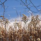 Winter Reed. Color Contrast by denis-romanov