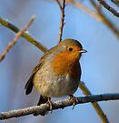 Robin by Nigel Bangert