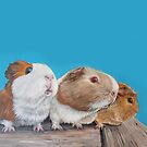 Guinea pigs by Jenny Urquhart