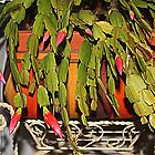 Buds Of A Christmas Cactus by Cynthia48