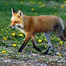 Red Fox Vixen Walking by AriasPhotos
