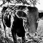 Inquisitive Cow by Ciaran O'Hagan
