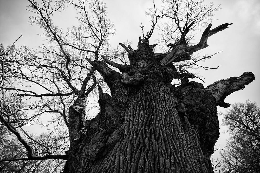Oak tree by Igor Motl