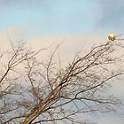 Snowy Owl tale of tenacity (video in description) by Heather King