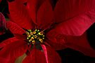 Red Poinsettia by Colleen Drew