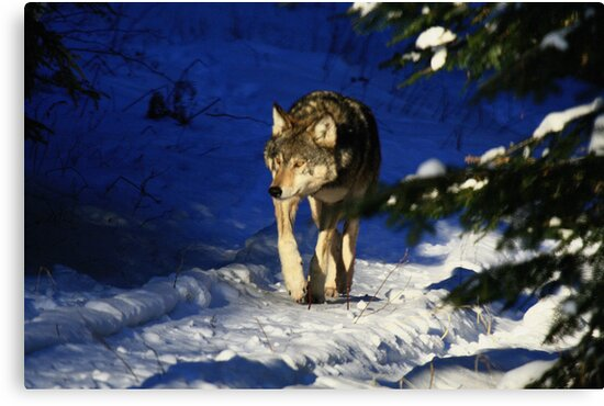 """""""   Lone Wolf  """" by fortner"""