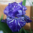 An Iris Close-Up by kkphoto1