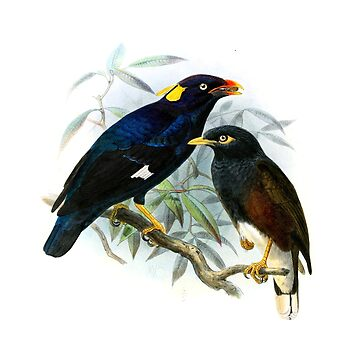 John Gerrard Keulemans: Sri Lanka Myna Gracula and Common Myna by planetterra