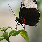 Black, White, and Red Butterfly by Jeanne Kramer-Smyth