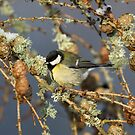 Great Tit in larch tree by wildlifephoto