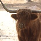 Highland Cattle by BenGozzz