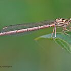 Immature White-legged Damselfly by Hugh J Griffiths