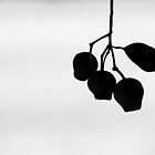 Gumnuts Silhouette by metriognome