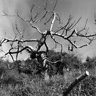 Laureana Cilento: tree by Giuseppe Cocco