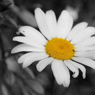 Lonely Daisy  by MattHutzell