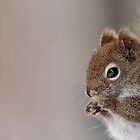American Red Squirrel Portrait by AriasPhotos