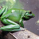 White Lipped Tree Frog by kirstybush