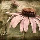 Echinacea by Kelly Cavanaugh