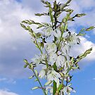 Yucca flowers by jcmeyer