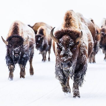 BISON by planetterra