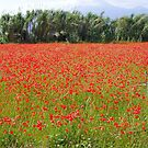 Fields of poppies in southern Italy by Christine Oakley