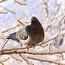 Pigeon on Snowy Branch by Sofia Solomennikova