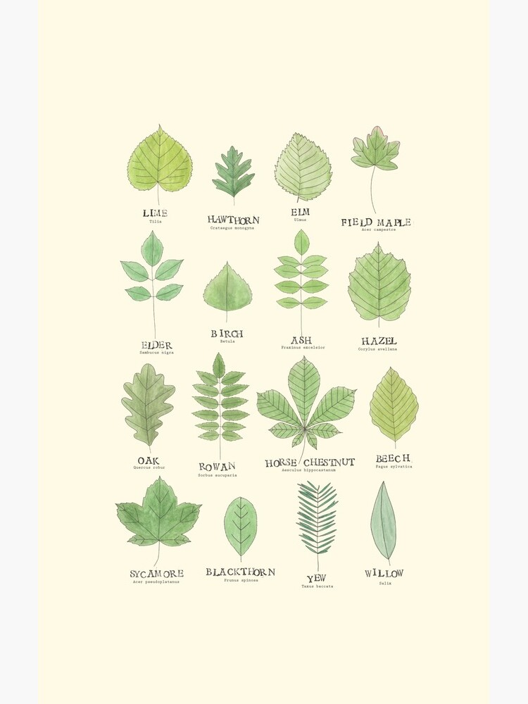 Leaf ID Chart by lhollyberry
