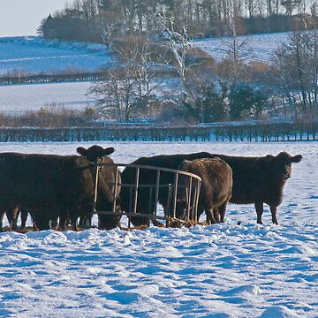 Black Cattle, White Snow - Bintree Norfolk by johnny2sheds