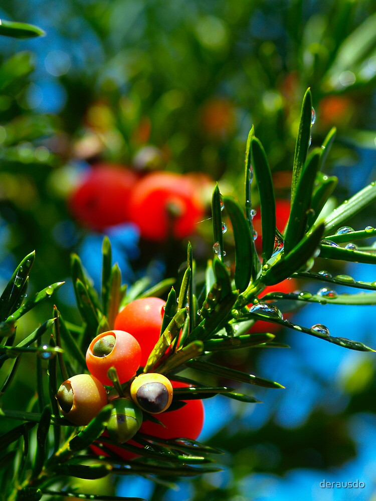 yew seeds by derausdo