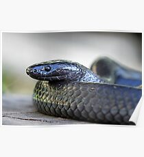 Small-eyed Snake  - Cryptophis nigrescens Poster