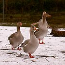Reservoir Geese by evilcat