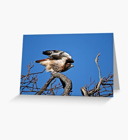 Red-tailed Hawk taking off - Amherst Island Greeting Card