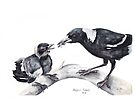Australian Magpie by Meaghan Roberts