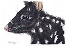 Eastern Quoll by Meaghan Roberts