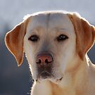 Yellow Labrador Retriever by Happy Dog Swag