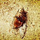 Cicada by Rossman72