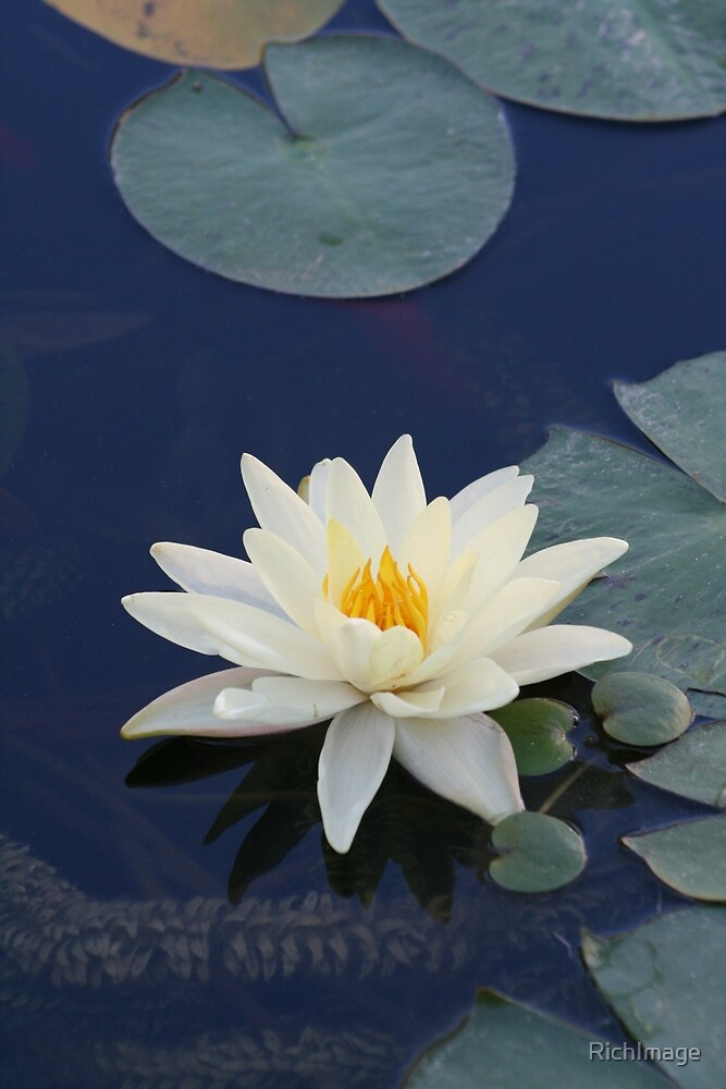 lotus in the water by RichImage