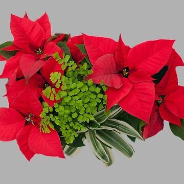 Christmas Poinsettia Arrangement by Osso