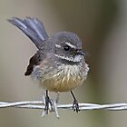 Grey fantail being very inquisitive by Lee Fennell