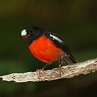 Pacific robin by Lee Fennell