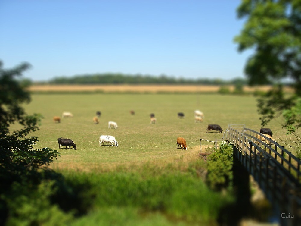 Grazing cows - Buckinghamshire by Caia